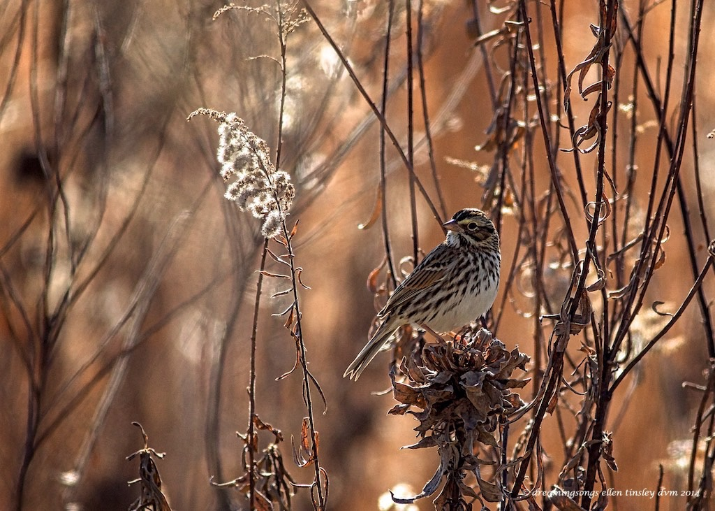 WALK4707 savannah sparrow meadow light 2014