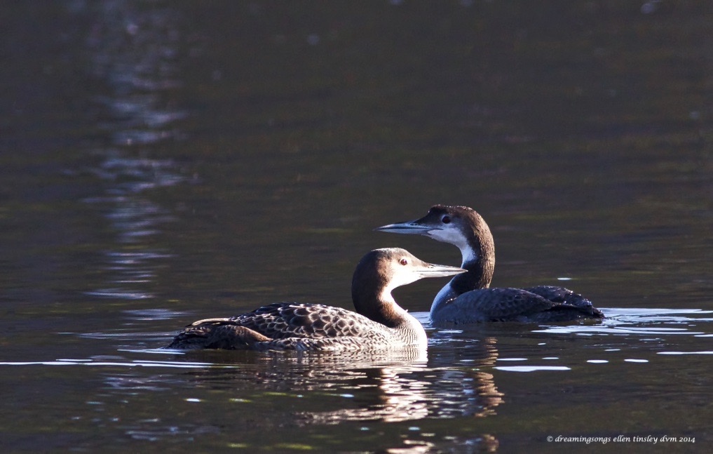 WALK5828 2 common loons 2014