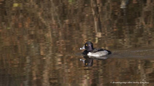 WALK6449 ring-necked duck 2014
