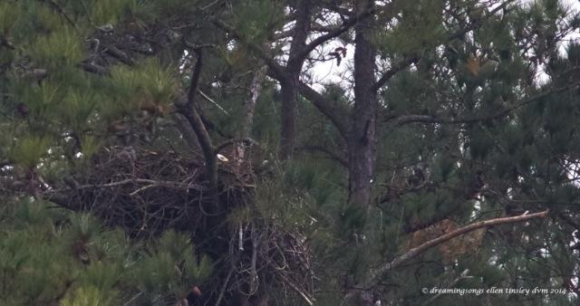 WALK7023 1st Kate on nest pix   2014