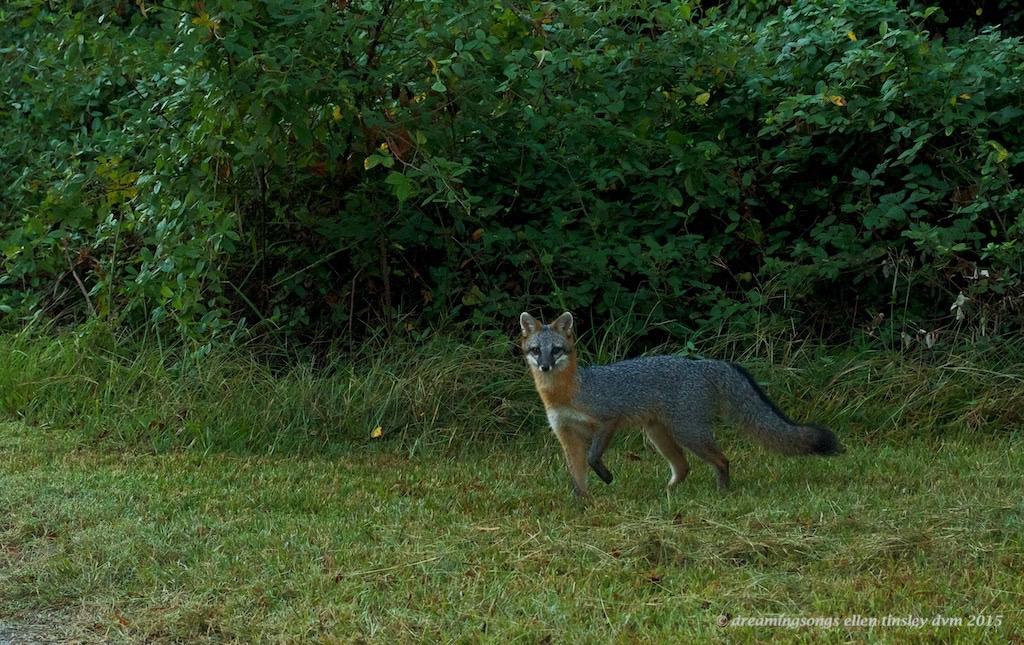 IMG_6578 farm vixen2010 gray farm fox 2010