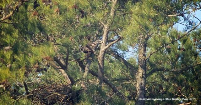 WALK2925 3 yo over the nest2015