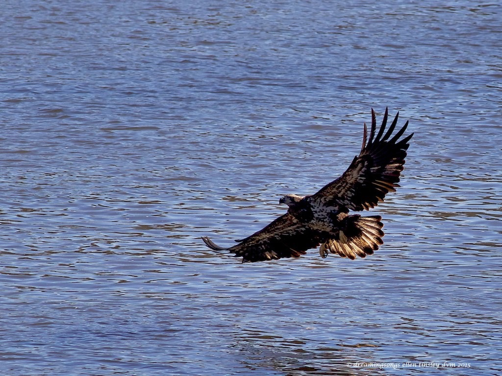 WALK7910 young eagle and sun 2015