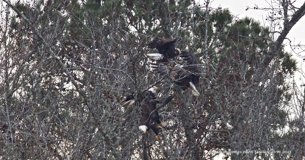 WALK8406 4 adult eagles med 2015