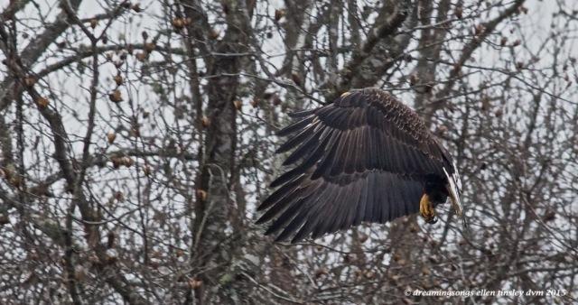 WALK8414 4 yo eagle talons 2015