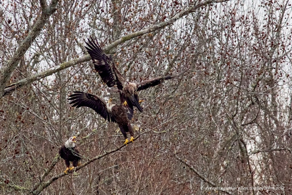 WALK8526 3 eagles on limb 2015