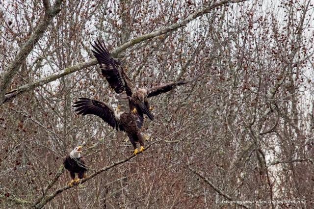 WALK8526 3 eagles on limb 2015