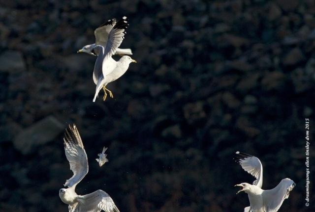 WALK0265 catch the fish gulls 2015
