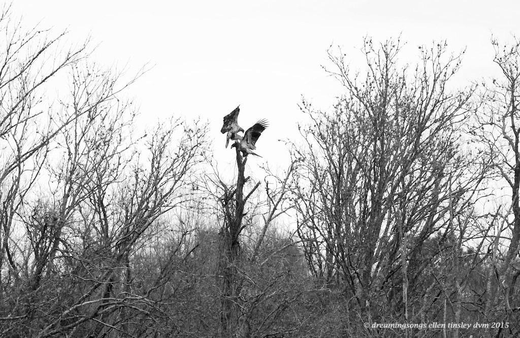 WALK0744 2 eaglets on a tree b and w 2015