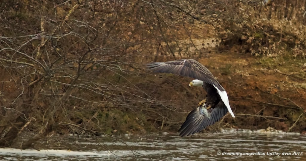 WALK0859 adult eagle bowing away w fish 2015