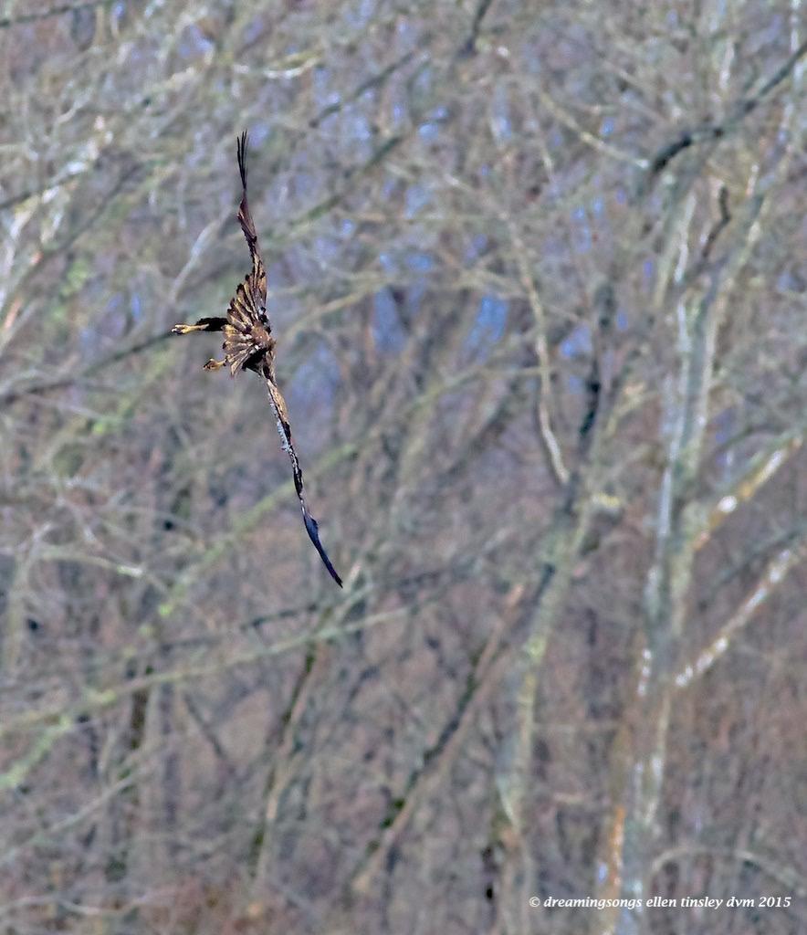 WALK1773 juvie eagle tilt 2015