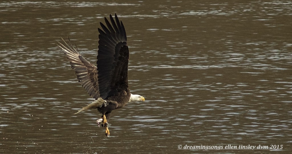 WALK7681 one foot carry eagle 2015
