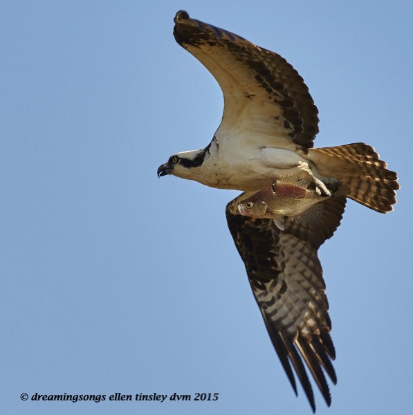 WALK2243 Mar 28 2015  02-46-08 Haw River Osprey fish carry 1