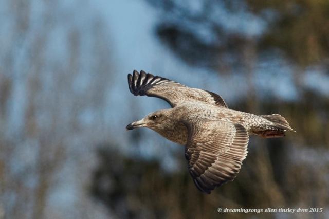 WALK582706-03-15 Herring gull