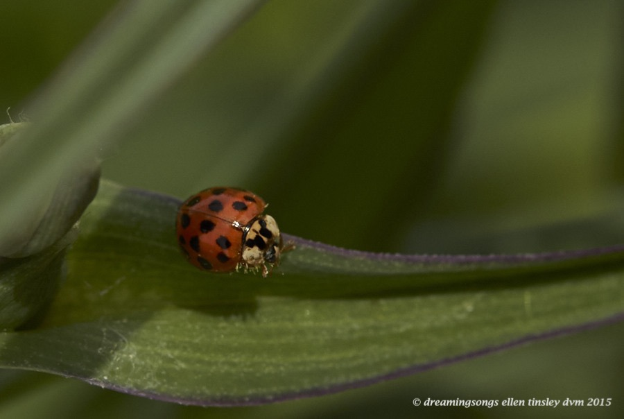 WALK0282 Apr 20 2015  12-14-39  RaulstonAsian lady beetle