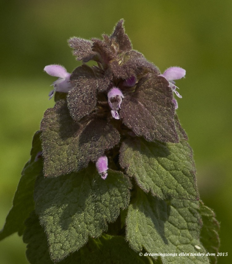 WALK5558 Apr 03 2015  11-52-31 Haw RiverPurple dead-nettle