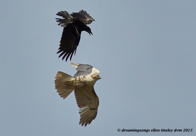 WALK5754 Apr 04 2015  12-03-10 Haw RiverRed-tailed hawk American crow