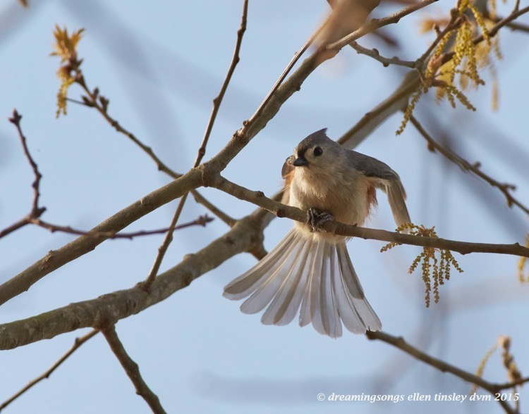 WALK6350 Apr 06 2015  09-05-19 New Hope  gossamer tufted titmouse