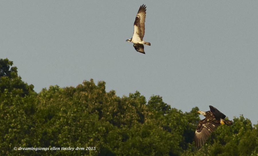 WALK6192 May 08 2015  07-12-34  New Hope Brassy osprey 2