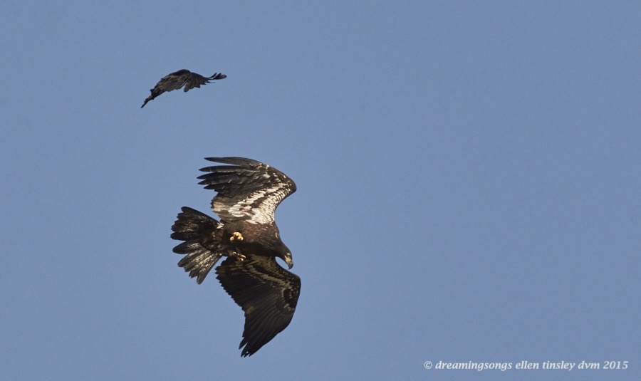 WALK6942 May 09 2015  10-07-53  New Hope Ice crow
