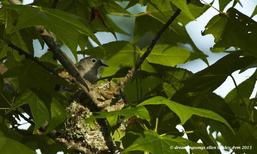 WALK2920 Jun 01 2015 @ 07-45-33 Ebenezer Jun 01 2015 @ 07-45-33 blue grey nest