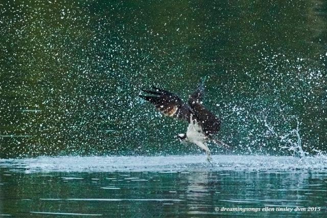 WALK4116 Jun 07 2015 @ 06-33-58 Ebenezer Jun 07 2015 @ 06-33-58 Osprey in aqua 1