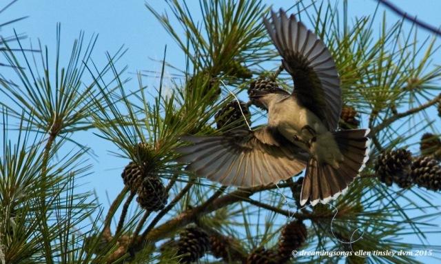 WALK4717 Jun 10 2015 @ 07-28-23 Ebenezer Jun 10 2015 @ 07-28-23 kingbird fishing line