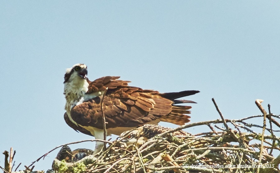 WALK6377 Jun 12 2015 @ 11-32-11 Robeson  Osprey 2 chicks