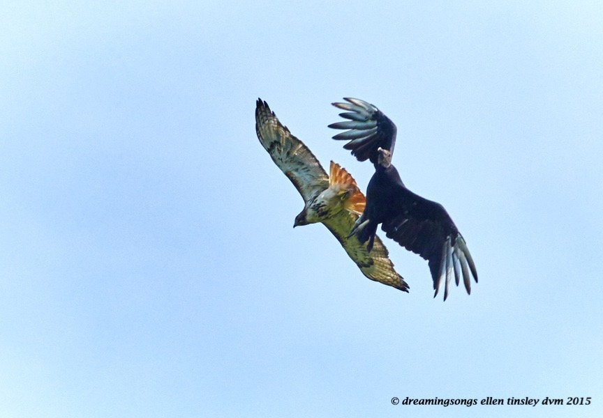WALK0481 Jul 22 2015 @ 09-55-17 Haw River  red tail and vulture