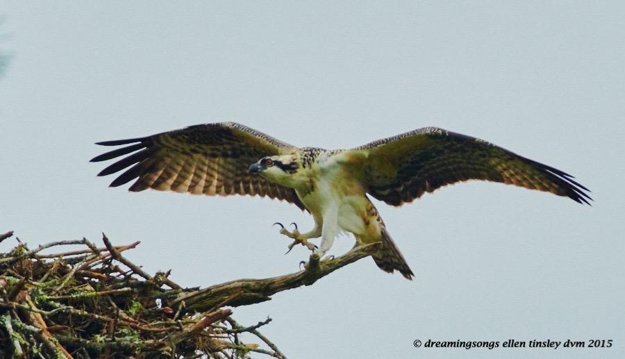 WALK1616 Jul 02 2015 @ 08-46-43 Stinky osprey fledges