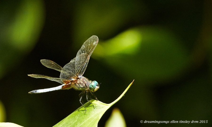 WALK4205 Jul 07 2015 @ 14-56-53 Raulston Dragonfly