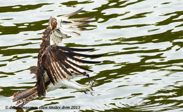 WALK6827 Jul 13 2015 @ 09-10-07 Haw River Ace fishing lure