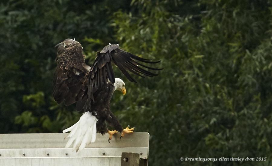 WALK7499 Jul 14 2015 @ 10-40-11 Haw River eagle on sign