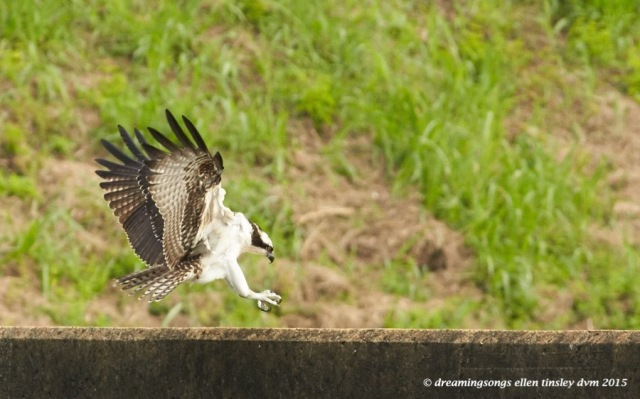 WALK8495 Jul 17 2015 @ 09-33-55 Haw River osprey fledgling flight