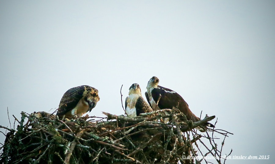 WALK9027 Jun 24 2015 @ 06-44-19 Stinky osprey chicks