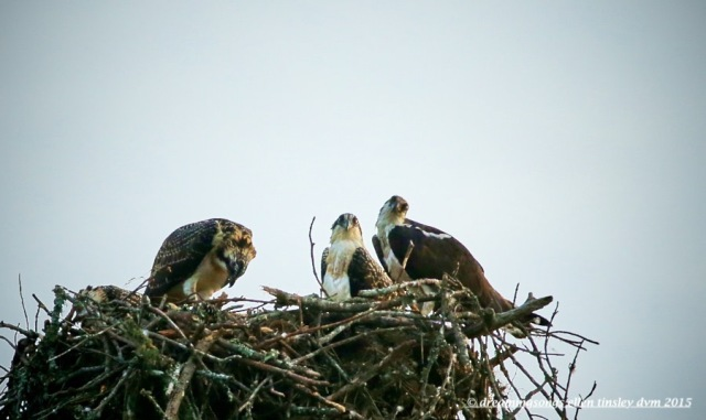 WALK9027 Jun 24 2015 @ 06-44-19 Stinky osprey chicks