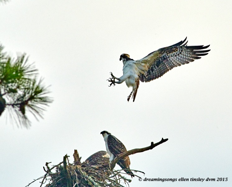 WALK9170 Jul 19 2015 @ 07-10-13 Stinking osprey opps