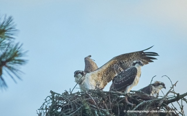 WALK9975 Jun 28 2015 @ 06-57-49 Stinky osprey wing wapping