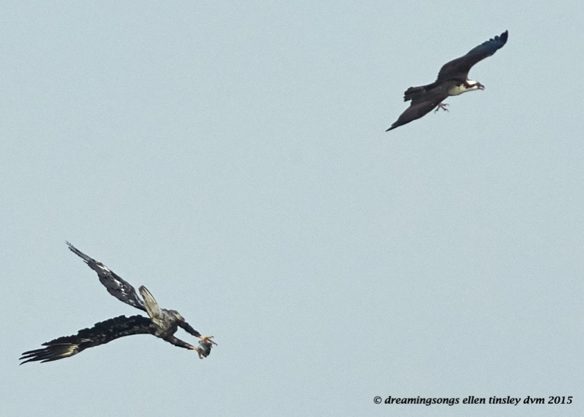 eagle and osprey