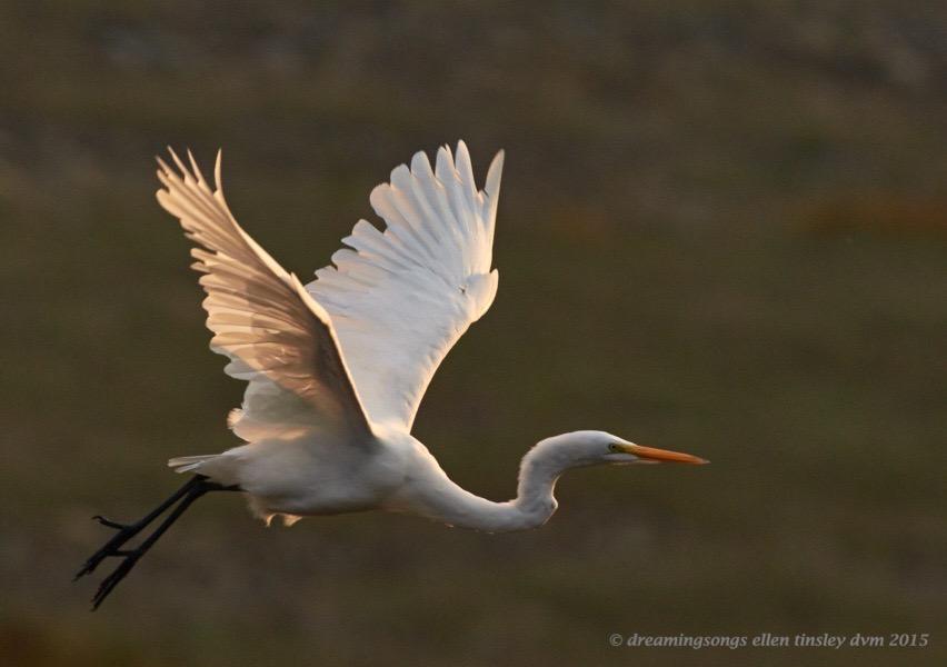 great egret dawn