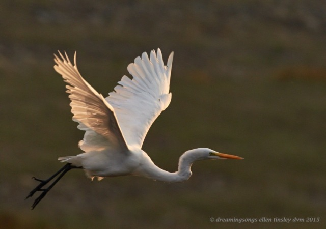 great egret dawn