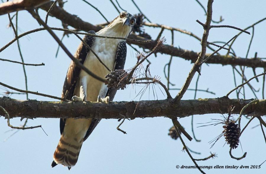 immature osprey