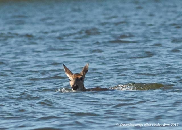 swimming deer