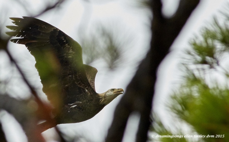 4 yo eagle thru trees