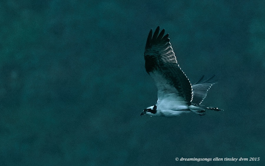 immature osprey diamante