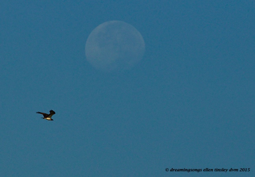 osprey moon