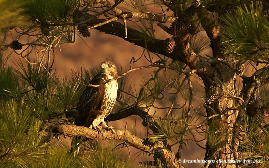 red-tailed at rest