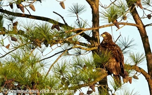 2 yo bald eagle glare