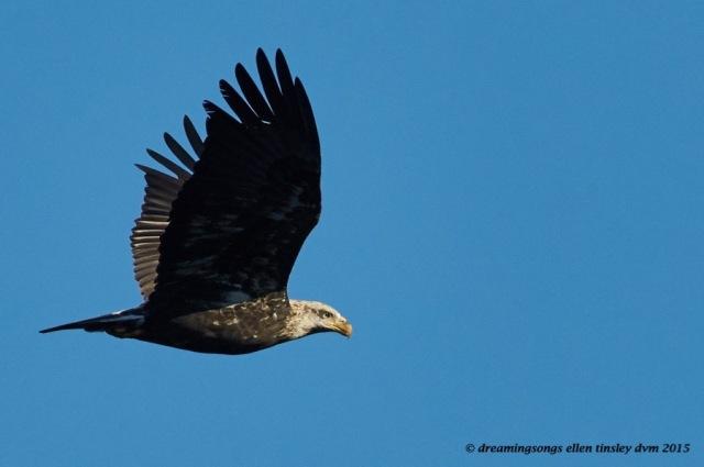 3 yo eagle calculating look