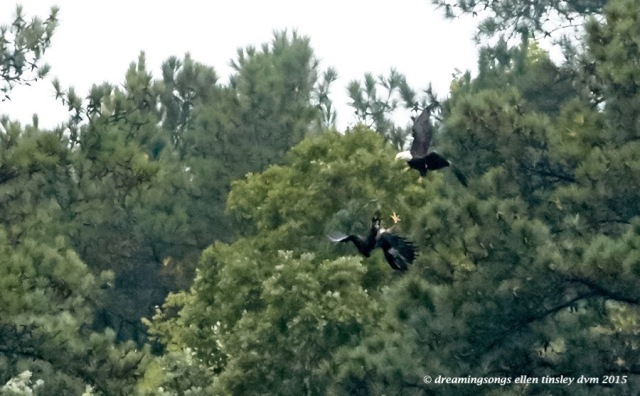 adult eagle chasing juvie 1